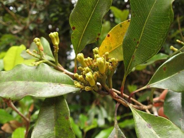 бутоны цветов гвоздичного дерева