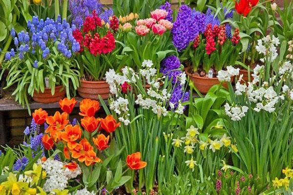 выгонка цветов к празднику