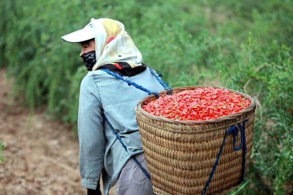 сбор ягод годжи
