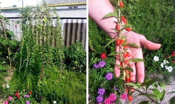 выращиваем годжи на дачном участке
