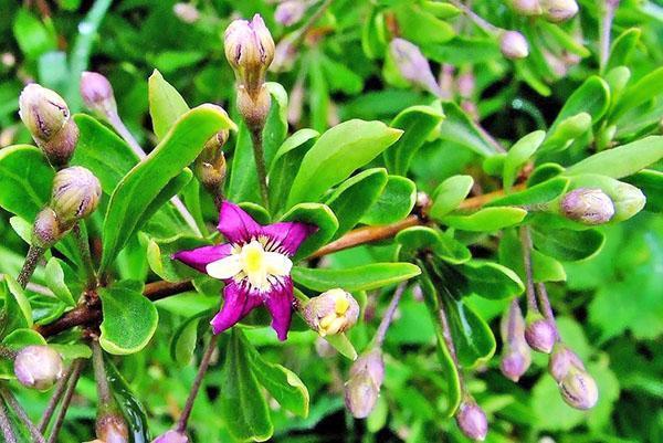 цветет годжи