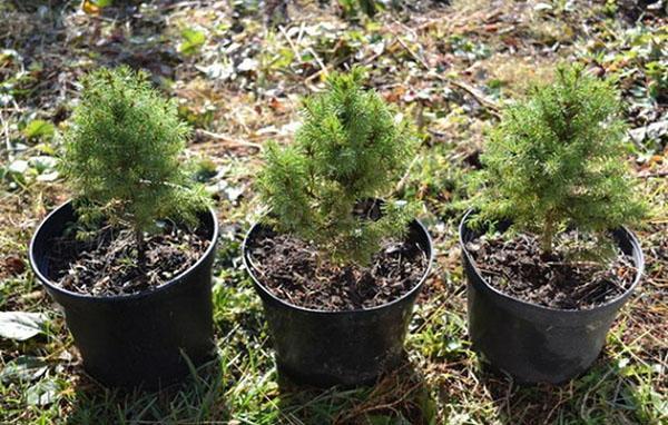 саженцы елки