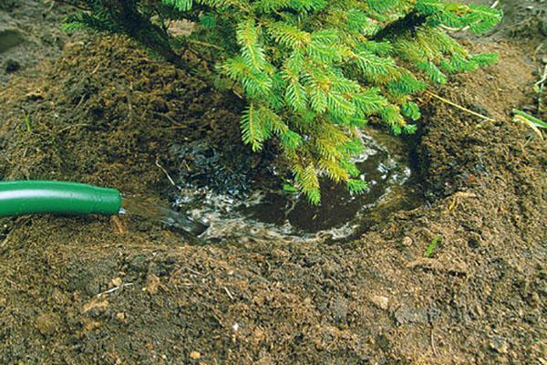полив пересаженной елки