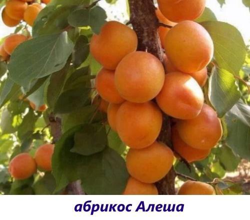 алеша