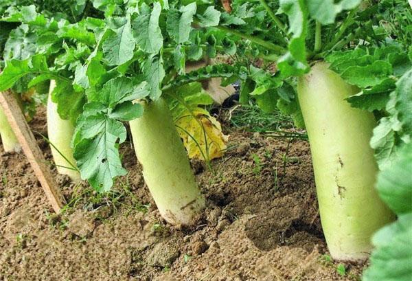 быстро созревающий овощ