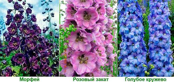 сорта морфей, розовый закат и голубое кружево