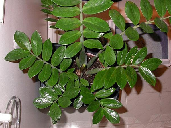 долларовое дерево в домашних условиях