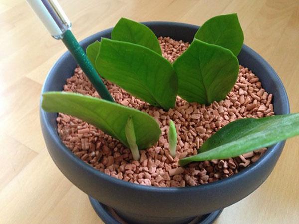 размножение листовыми пластинами