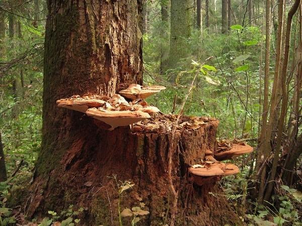 древесные грибы фото и описание