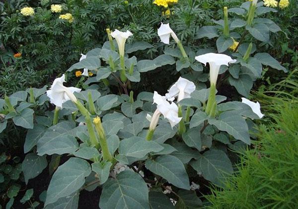 дурман цветок на клумбе