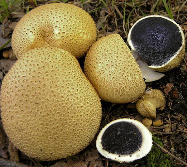 гриб дождевик ложный