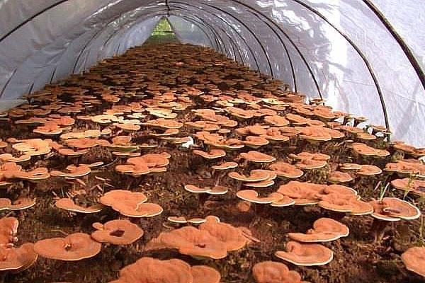 гриб рейши в парнике