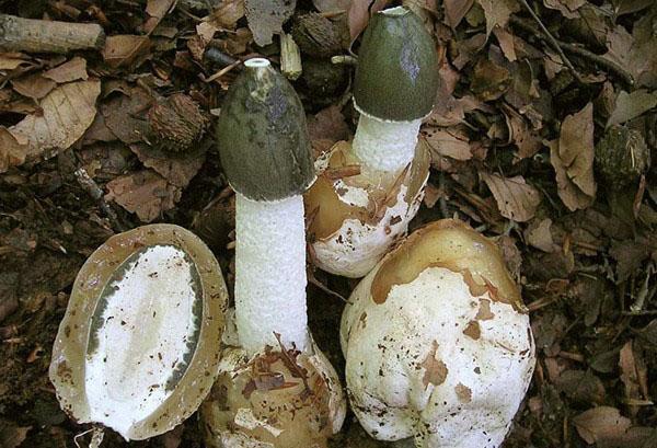 гриб веселка от зачатка до ножки