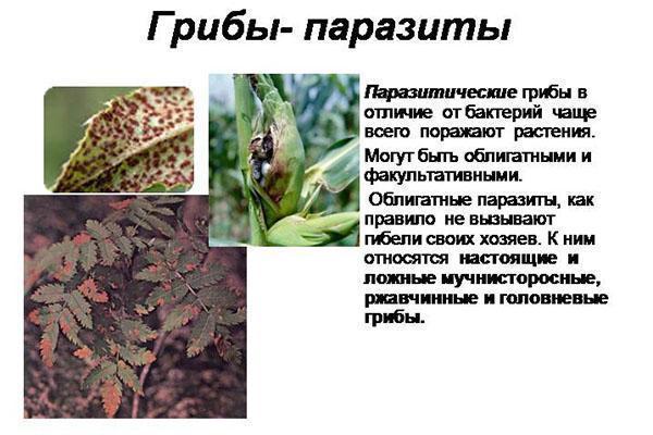 грибы паразиты