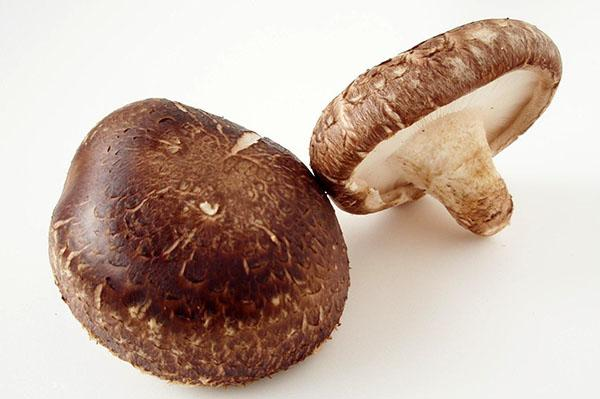 древесный пластинчатый гриб шиитаке