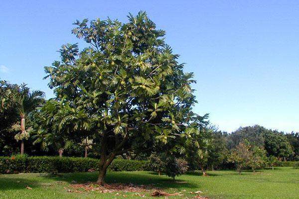 большое хлебное дерево