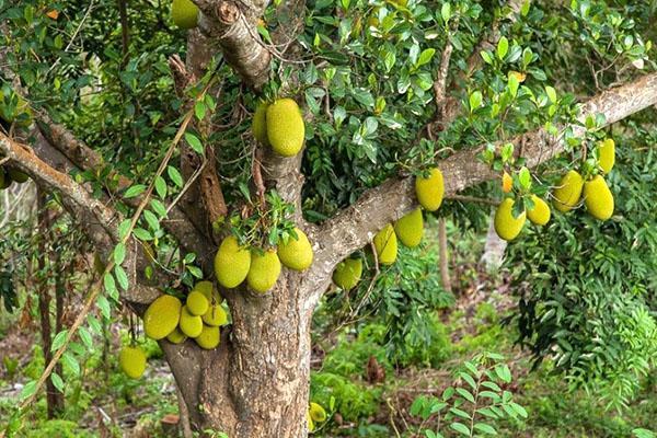 созревают плоды хлебного дерева