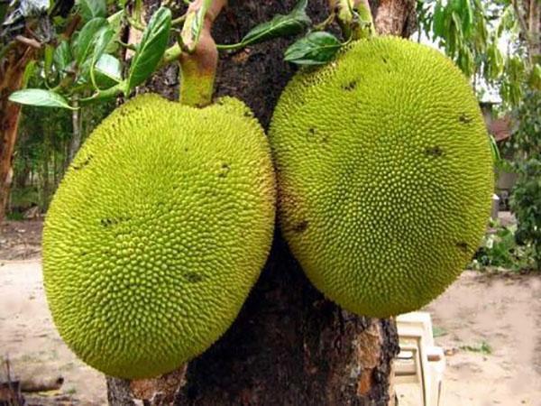 крупные плоды хлебного дерева