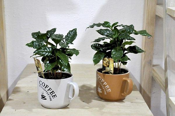 кофейное дерево из отростка