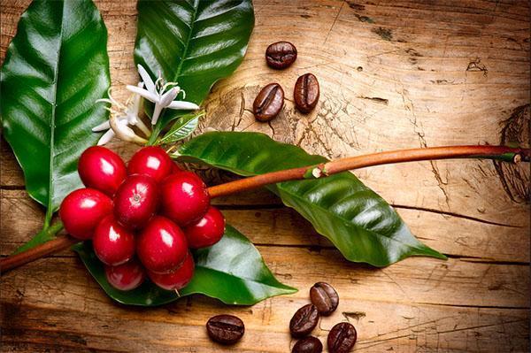 плодоношение кофейного дерева дома