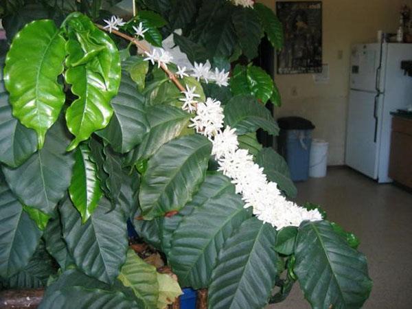 так цветет кофейное дерево