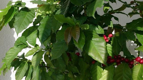 плодоношение кофейного дерева