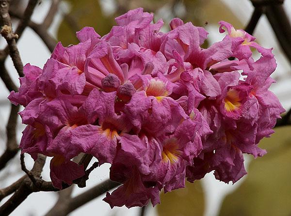 яркие цветы муравьиного дерева
