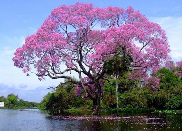 муравьиное дерево у водоема