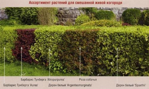 кусты для изгороди