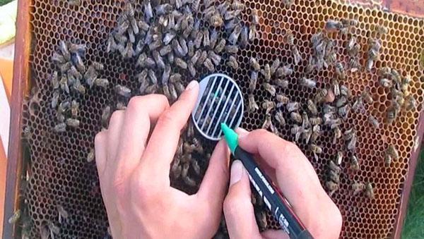процесс разметки пчелы
