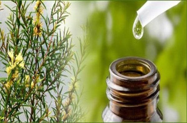 полезное масло из малалеука