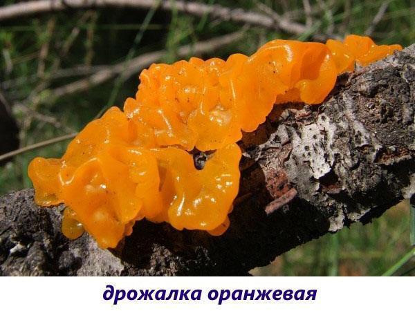 гриб дрожалка оранжевая