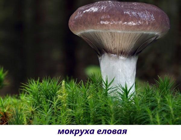 гриб мокруха еловая