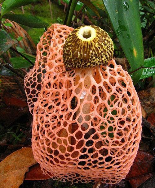 бамбуковый гриб в оранжевой юбочке