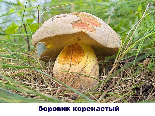 боровик коренастый