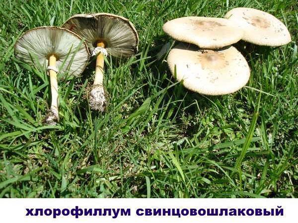 хлорофиллум свинцовошлаковый