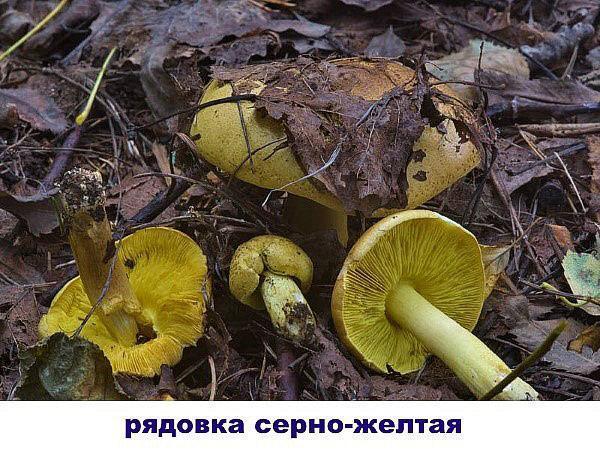 рядовка серно-желтая