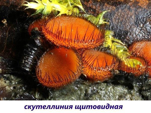 грибы скутеллиния щитовидная