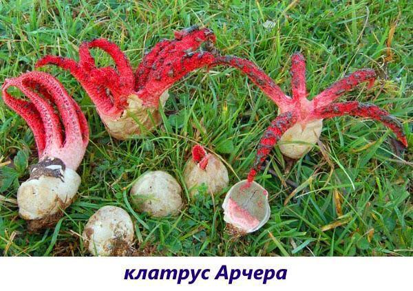грибы клатрус арчера