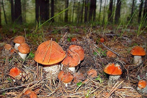 полянка съедобных грибов