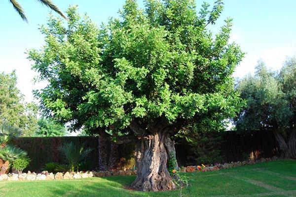 большое рожковое дерево