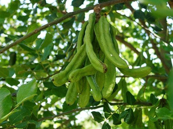 плодоношение рожкового дерева