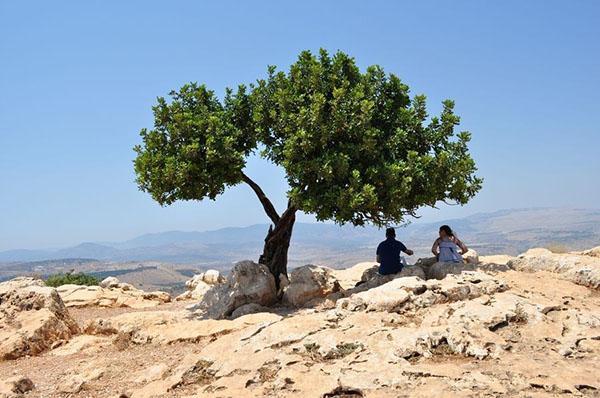 рожковое дерево в субтропическом климате