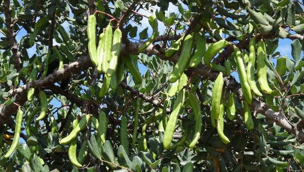 плоды рожкового дерева используют в медицине