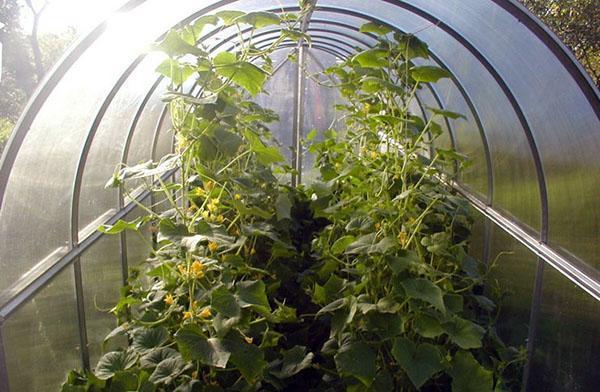 выращивание огурцов на теплых грядках в теплице