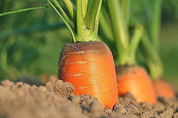 растет морковь на теплой грядке