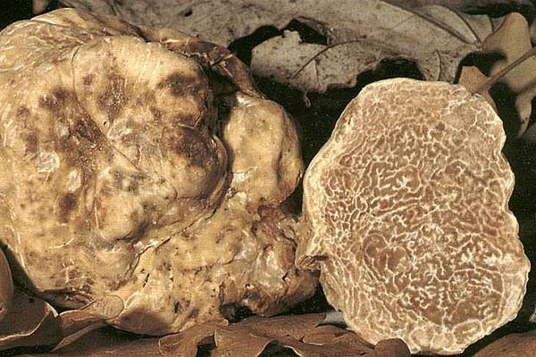 Tubermagnatum