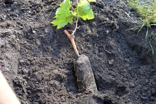 Как правильно сажать виноград: выбор времени и места, подготовка ямы, видео