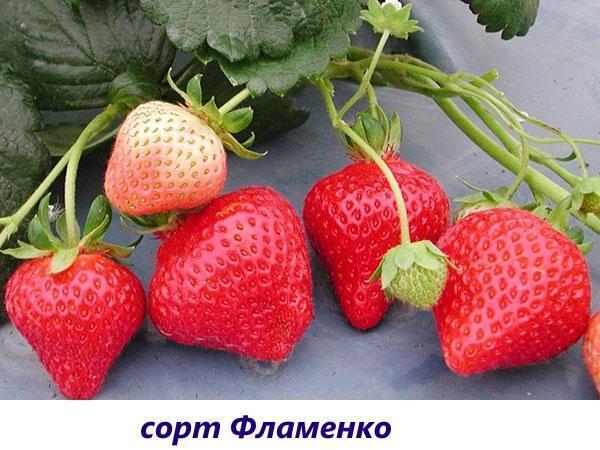сорт Фламенко