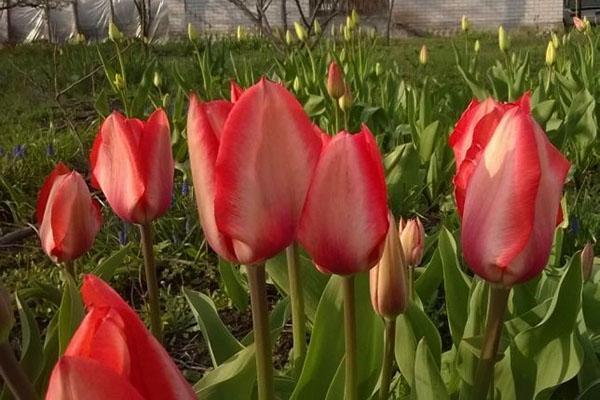 тюльпаны Шеффилд ранний